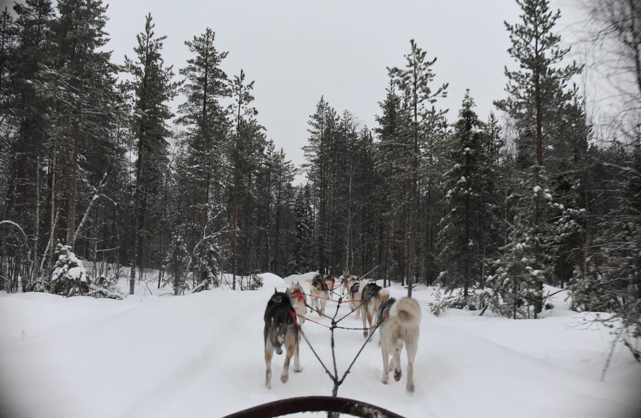 Lapland Excursion huskies