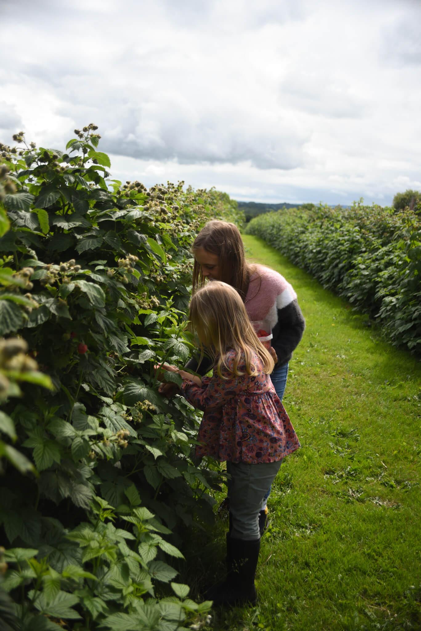 raspberry bushes at Scaddows