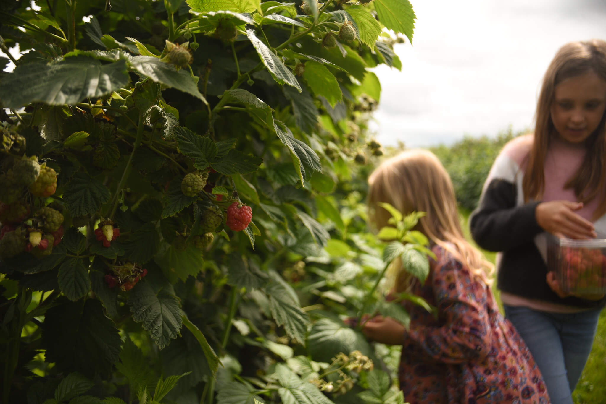 raspberry bush at Scaddows Farm