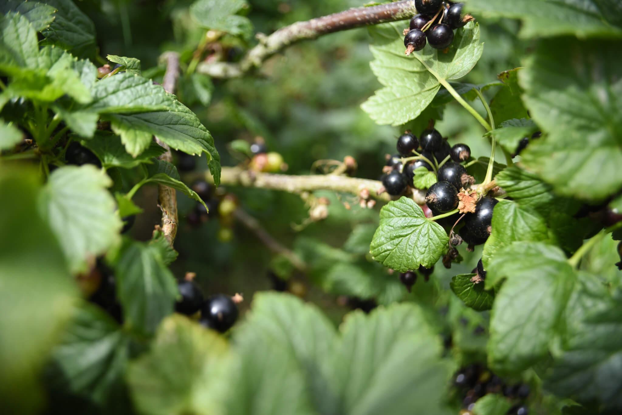 blackcurrants on the bush at Scaddows farm