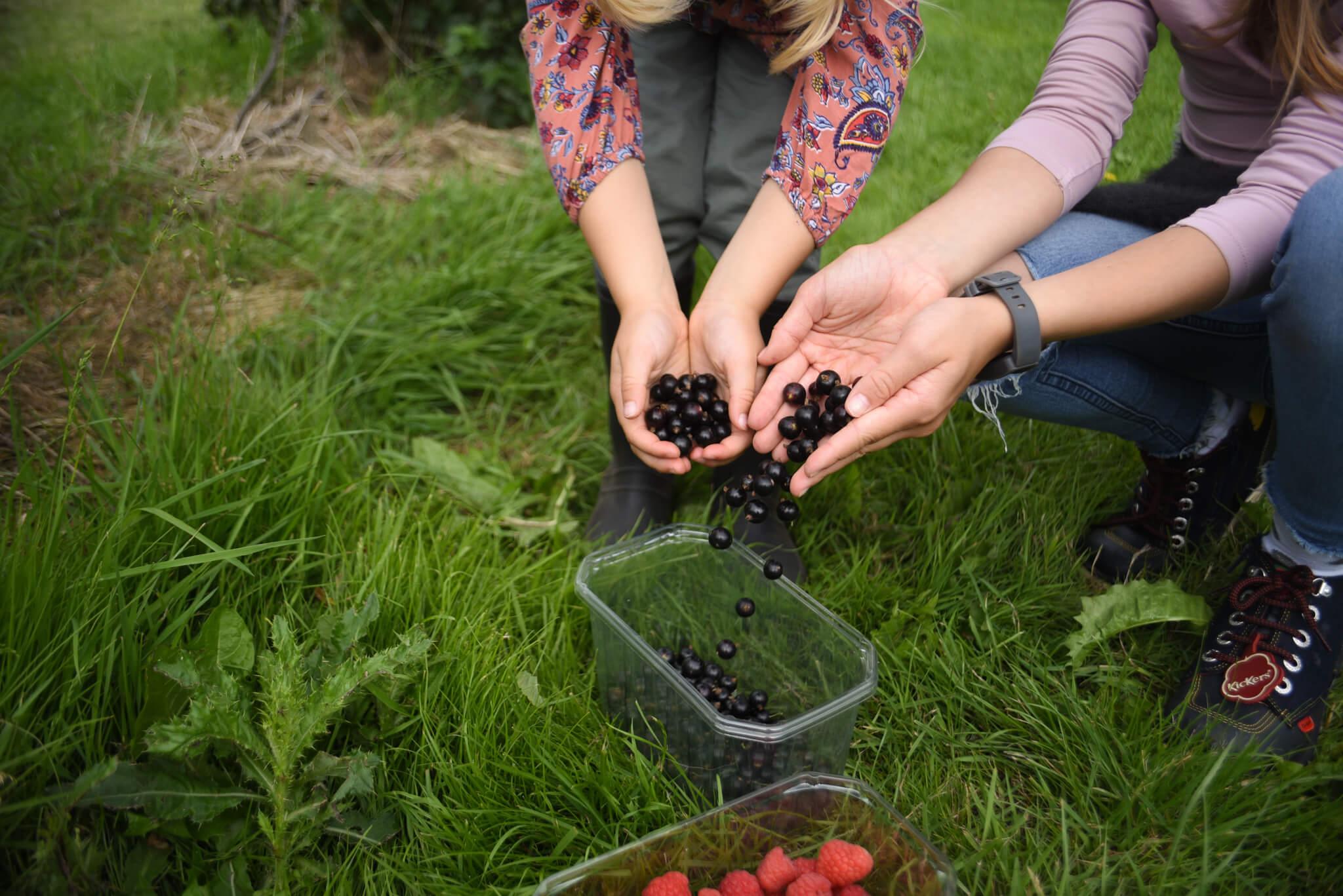 picking blackcurrants at scaddows