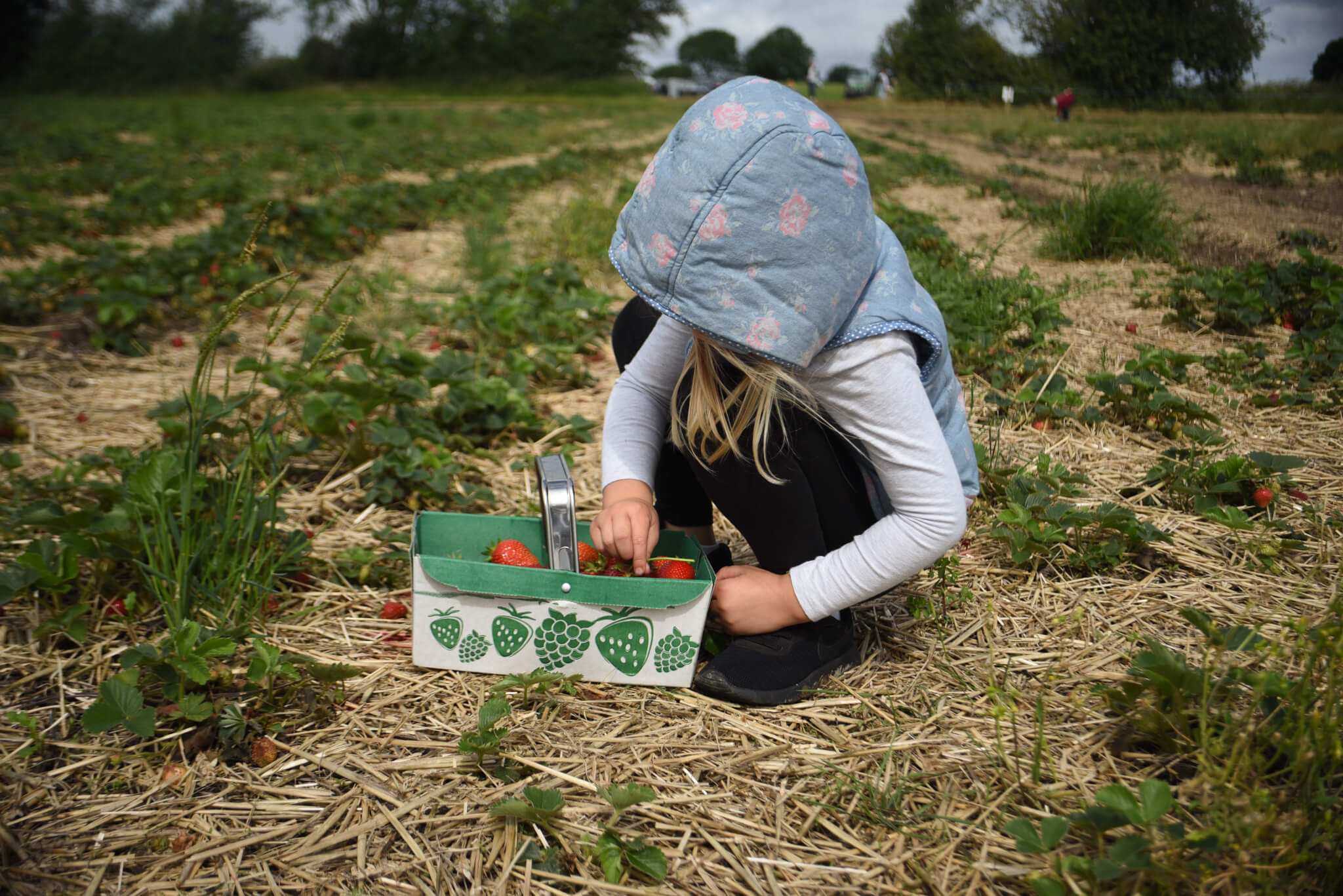 strawberry picking at scaddows