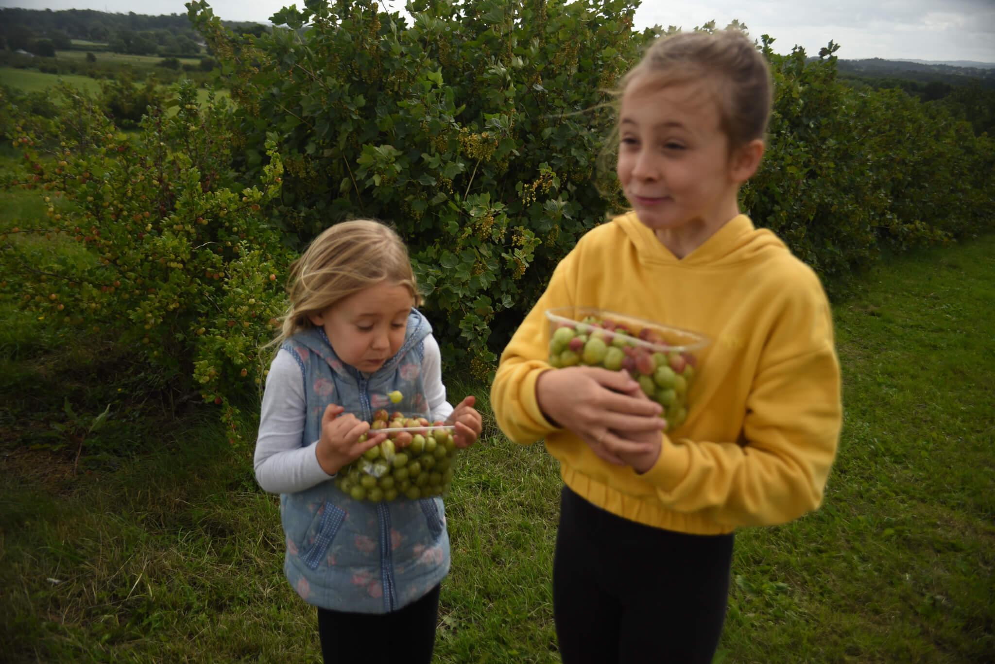 Gooseberry picking at Scaddows